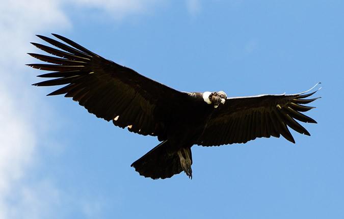 Condor chilien