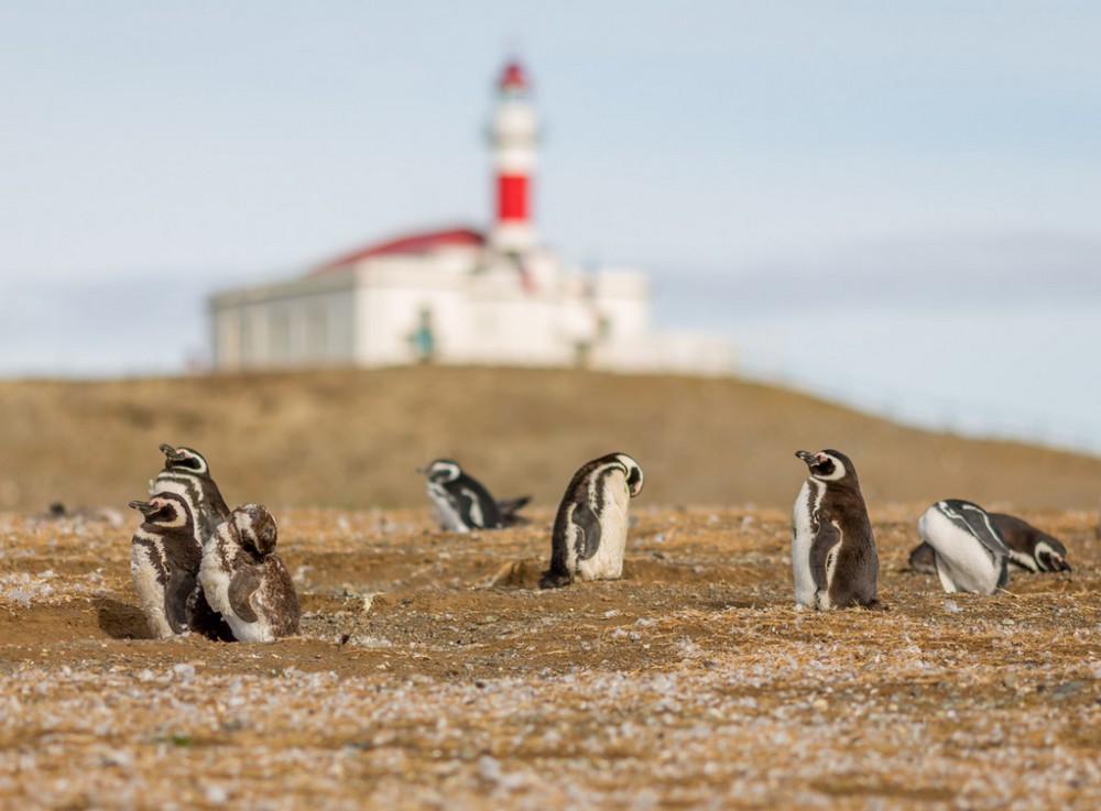 Pingouins Isla Magdalena